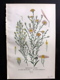 Edward Step 1897 Botanical Print. Michealmas Daisies.